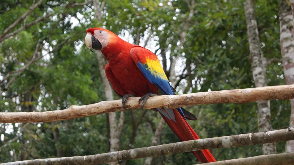 Hondurase rahvuslind samuti mayadel!