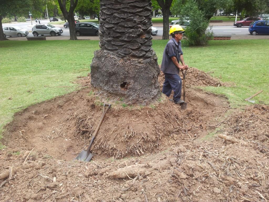 ... ärakuivanud palmipuu tuli välja kaevata!