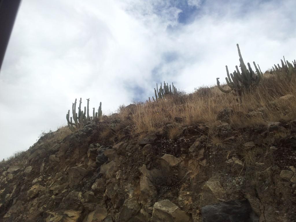 ... kaktused!