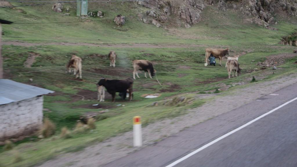 ...lehma lüpsmine, teel Cuscosse!