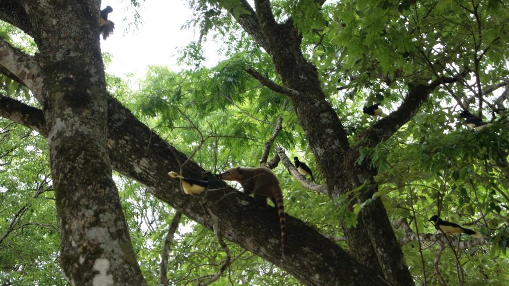 ...linnud kaitsesid pesi ja kihutasid ta puu otsast alla!